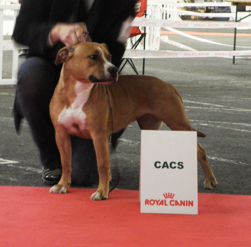 American Staffordshire Terrier - Poypoy Speed Perfect Energy