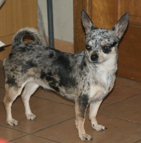 Les Chihuahua de l'affixe of Artemis Garden