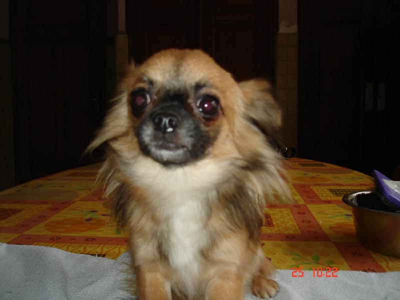 Les Chihuahua de l'affixe Du void de la bure