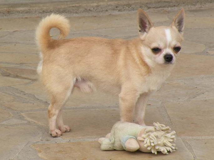 Les Chihuahua de l'affixe du manoir aux peupliers