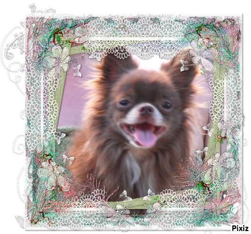 Les Chihuahua de l'affixe Du Hameau De Mikahila