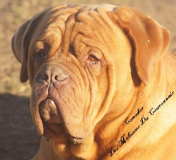 Les Dogue de Bordeaux de l'affixe des Gamins de Rubis