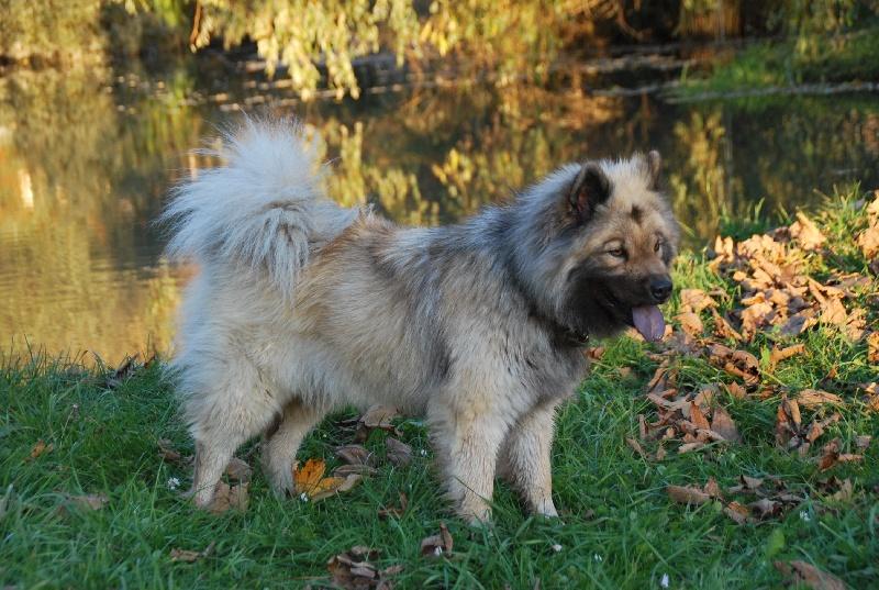 Chien - Elevage du Phare d'Ynys - eleveur de chiens Eurasier