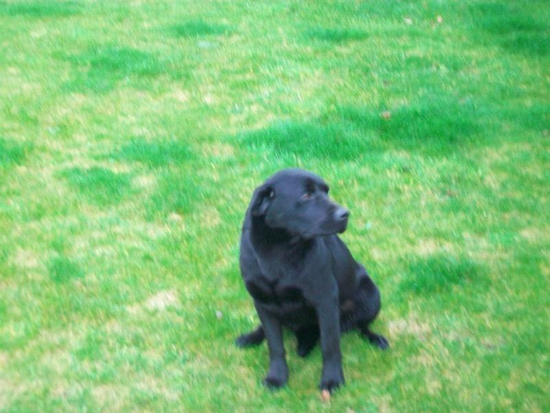 Labrador Retriever - Firdhyqueen Elstar