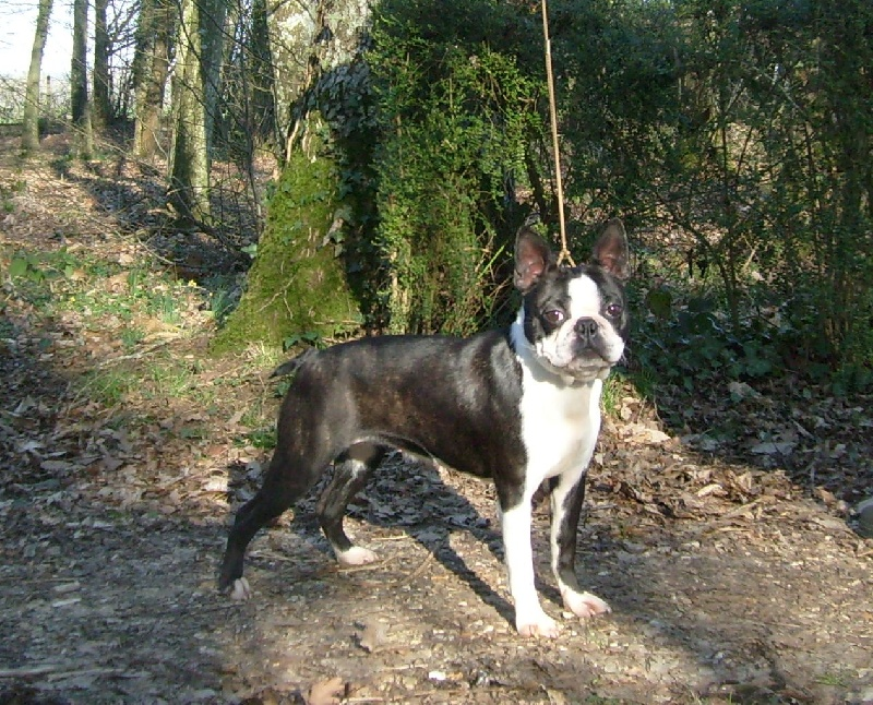 Les Boston Terrier de l'affixe of Penny Park