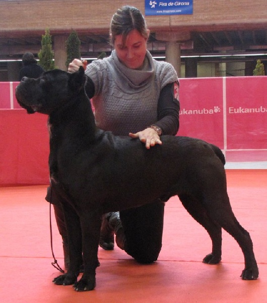 Cane Corso - Rothorm Jy Dream I'm going to make you bad things