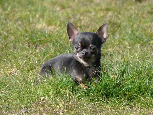 Les Chihuahua de l'affixe Land van mechelaar