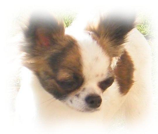 Les Chihuahua de l'affixe El Tabarcas