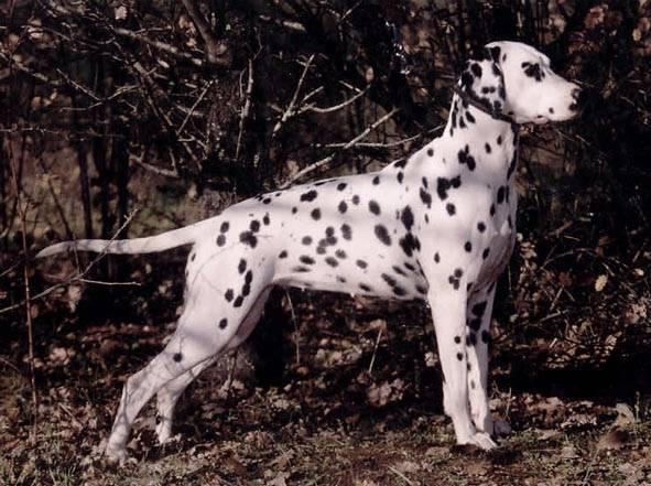Les Dalmatien de l'affixe les chiens de florence