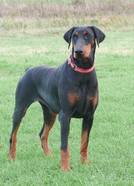 Elevage de percyval chiens dobermann pinscher staffy teckel levrier italien parson bouledogue - Elevage dobermann oreilles coupees ...