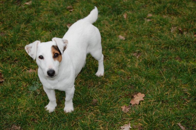 Les Jack Russell Terrier de l'affixe Didier Damas