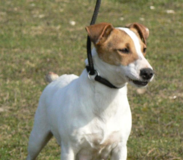 Jack Russell Terrier - Extra d'Edennefamily