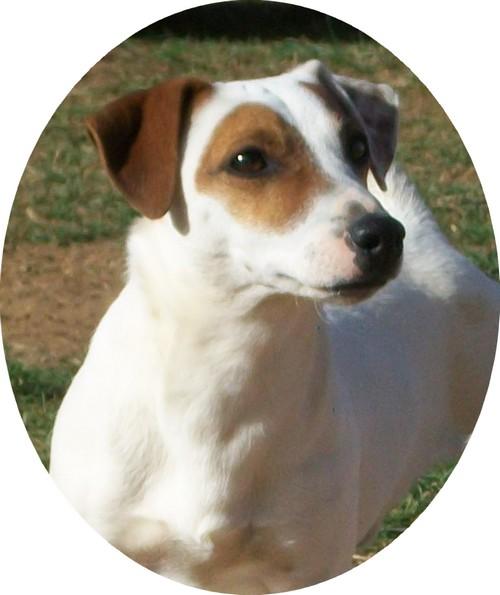 Les Jack Russell Terrier de l'affixe du Mas de Kevantsteph