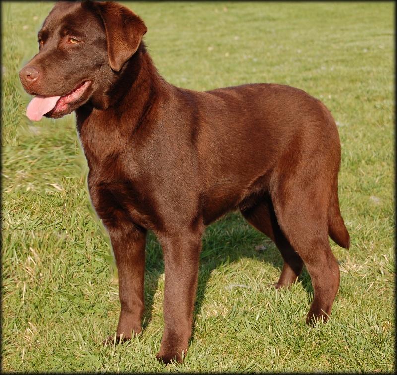 Les Labrador Retriever de l'affixe Didier Damas