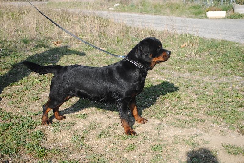 Les Rottweiler de l'affixe Blue Mountain Kennel