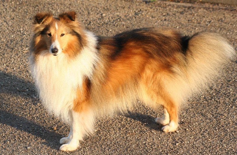accueil elevage du domaine de la salvoni re eleveur de chiens shetland sheepdog. Black Bedroom Furniture Sets. Home Design Ideas