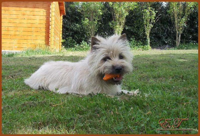 Les Cairn Terrier de l'affixe du jardin des korrigans