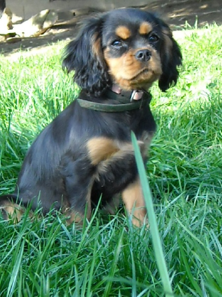 chien elevage du monde de pierr malou eleveur de chiens cavalier king charles spaniel. Black Bedroom Furniture Sets. Home Design Ideas