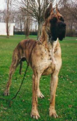 Les Dogue allemand de l'affixe des Armoiries aux Têtes d'Or