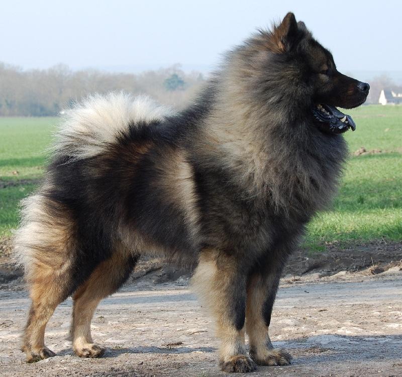Chien - Elevage Daodejing - eleveur de chiens Eurasier