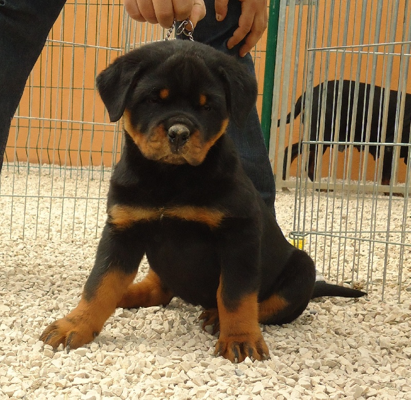 Pin Chiots-rottweiler-pedigree-annonce-maroc on Pinterest