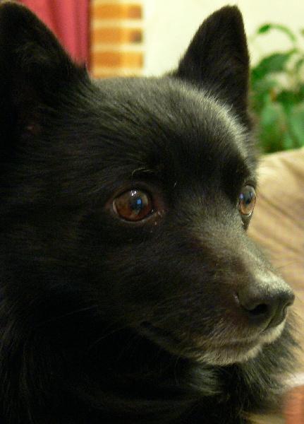 Les Schipperke de l'affixe of dogs in Black