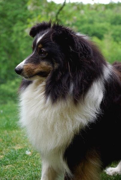Les Shetland Sheepdog de l'affixe du Domaine du Carpé