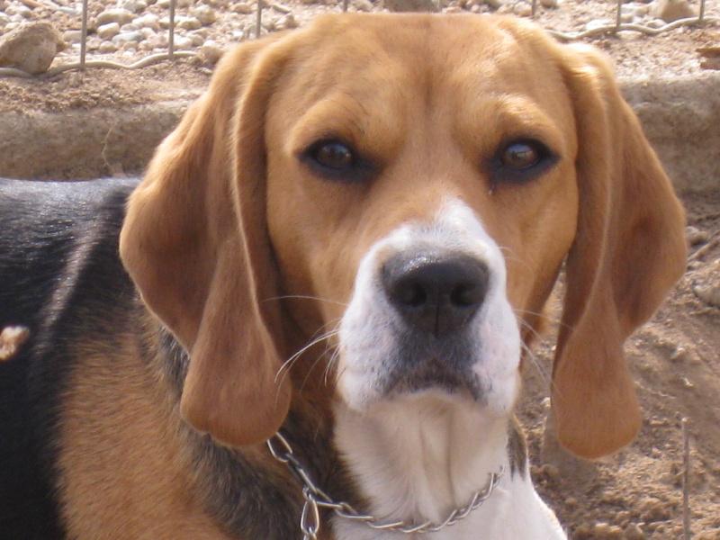 Les Beagle de l'affixe du vallon de Beaudini