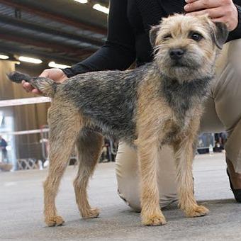 Les Border Terrier de l'affixe des Marais de Saint-Gratien