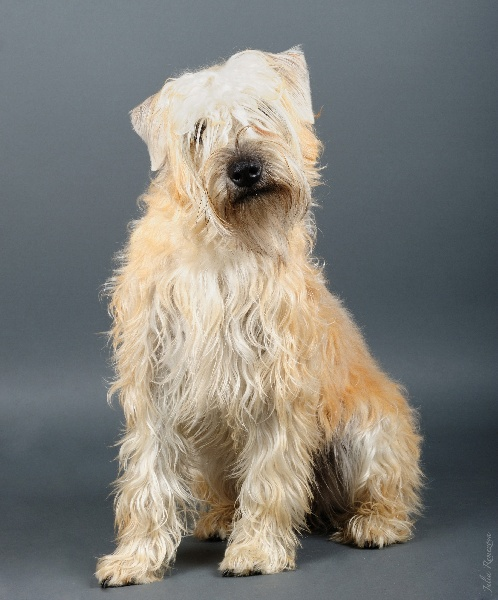 Irish Soft Coated Wheaten Terrier - Floory from the soft Estate of Drogheda