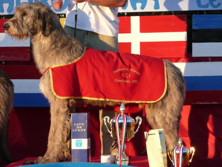 Levrier irlandais - CH. Casino royal Du grand chien de culann