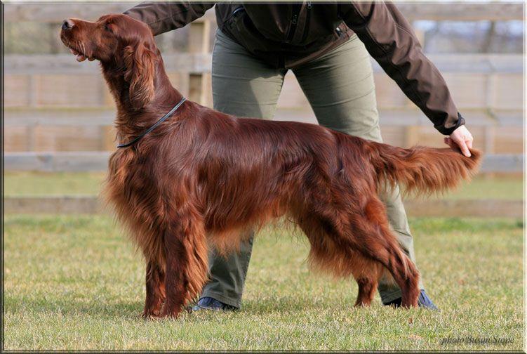 Setter irlandais rouge - CH. coppersheen Coalville lad