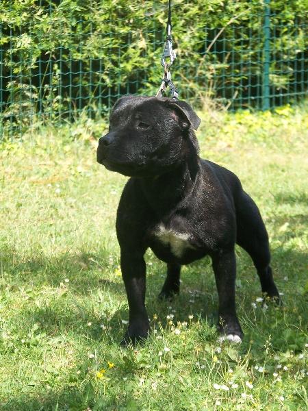 Les Staffordshire Bull Terrier de l'affixe du domaine de l'Empereur Noir