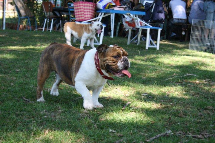 Les Bulldog Anglais de l'affixe From Isaboss
