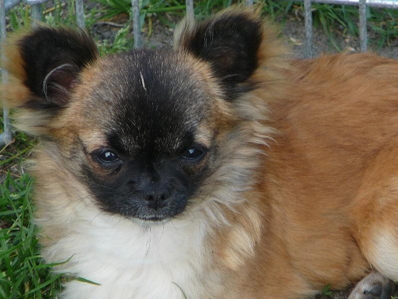 Les Chihuahua de l'affixe du royaume des bouts de chou