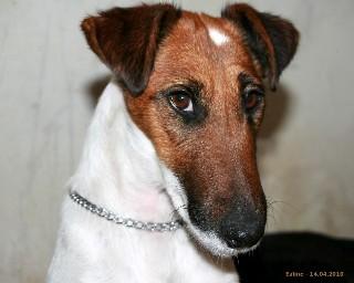 Les Fox Terrier Poil lisse de l'affixe De La Tour De Cruzières