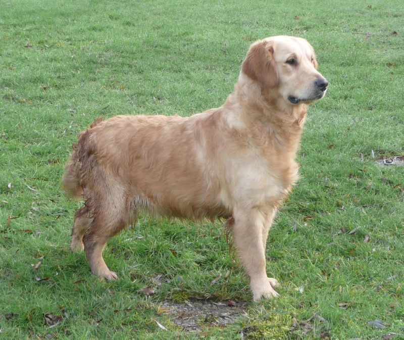 Golden Retriever - Diane D'Arguiller D'Anjou