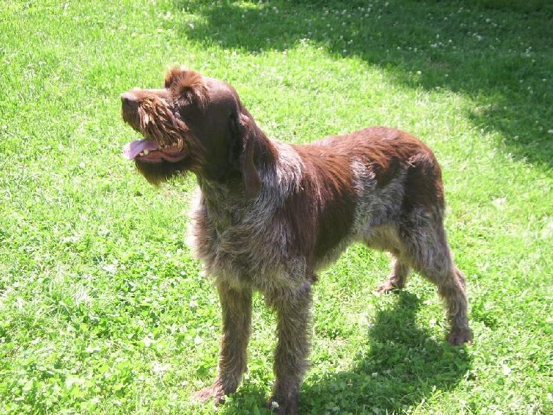 Griffon poil dur korthals - Enlever poil de chien voiture ...