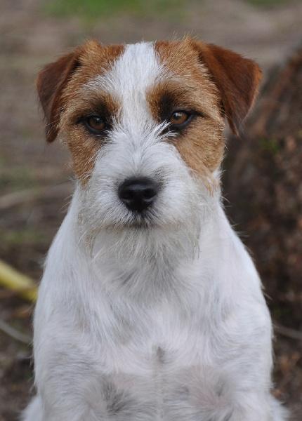 Les Jack Russell Terrier de l'affixe Sunset D'hell
