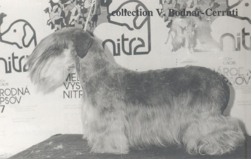Terrier Tchèque - CH. Divoch Bard
