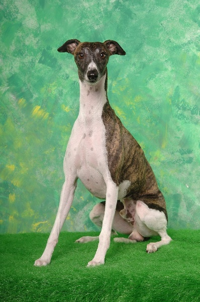 Chien - Elevage of verywhip - eleveur de chiens Whippet
