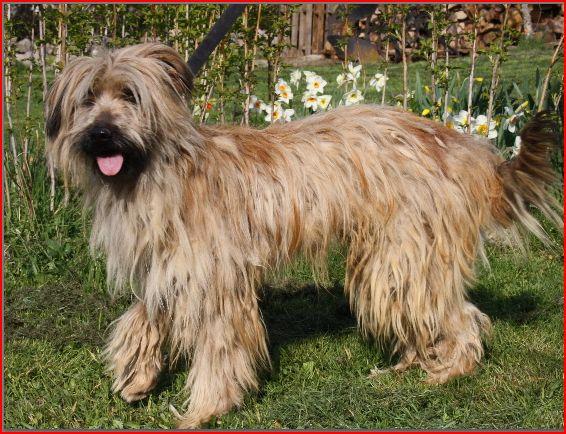 c sar du grand bestiolan chien de race toutes races en tous departements france inscrit sur. Black Bedroom Furniture Sets. Home Design Ideas