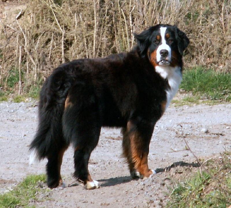 Mon chien le carlin et le bouvier bernois - Forum animaux