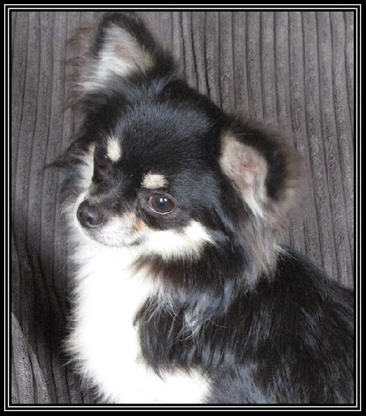 Les Chihuahua de l'affixe du Cèdre Enchanté
