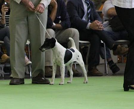 Fox Terrier Poil lisse - CH. merekoast Domino