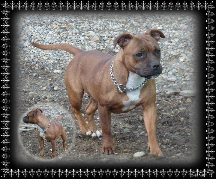 Les Staffordshire Bull Terrier de l'affixe de la Promesse d'Hyssambre
