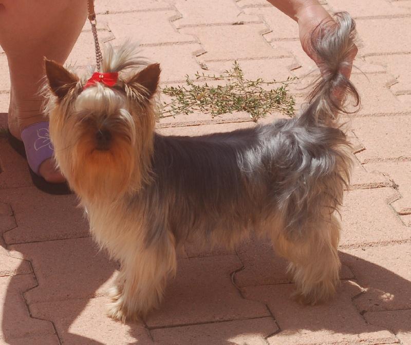Fooky du domaine de monderlay chien de race toutes races - Modele de coupe pour yorkshire terrier ...