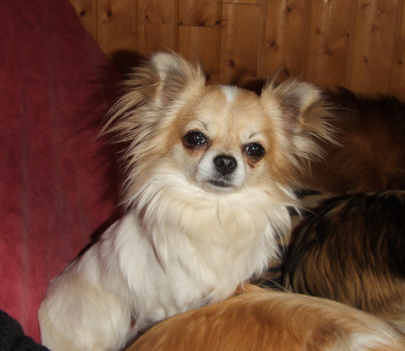 Les Chihuahua de l'affixe De kolyma river