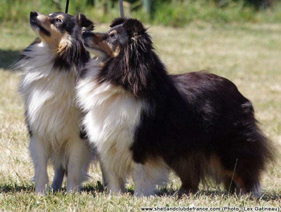 Les Shetland Sheepdog de l'affixe De la vallée des noyeres