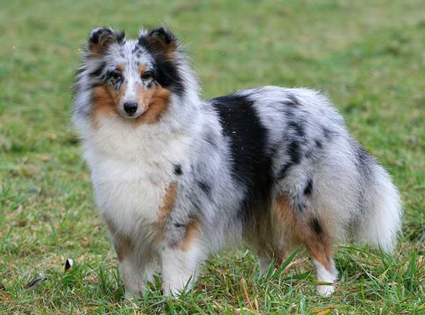 Shetland Sheepdog - Fabia blue from shamrock river
